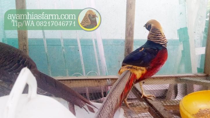 ayam-hias-golden-pheasant-2