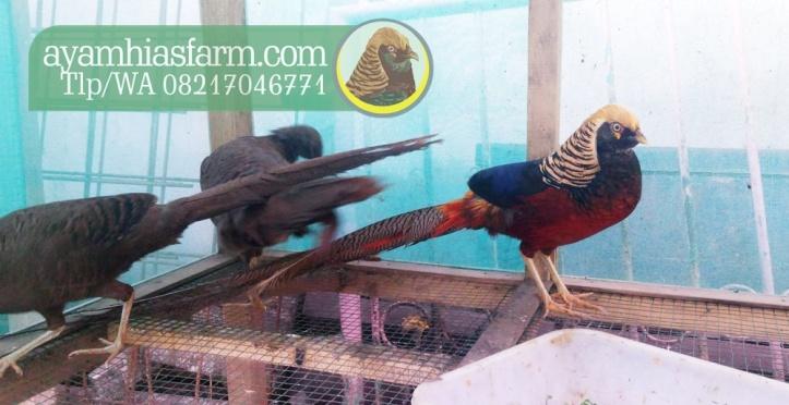 ayam-hias-golden-pheasant-3