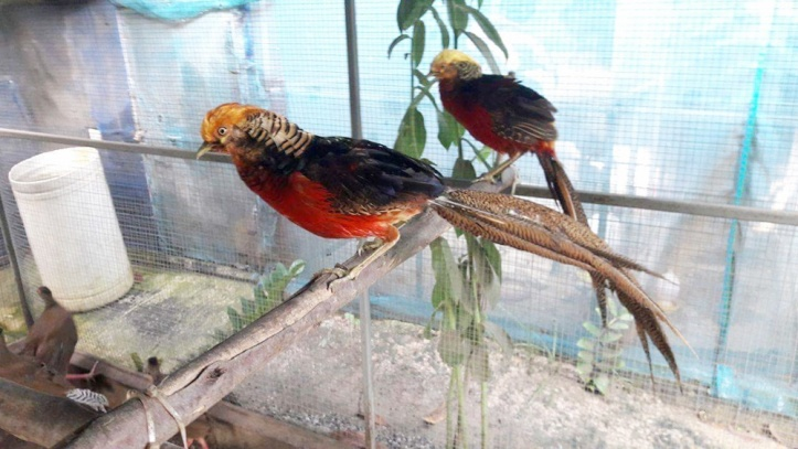 Ayam hias golden pheasant 5