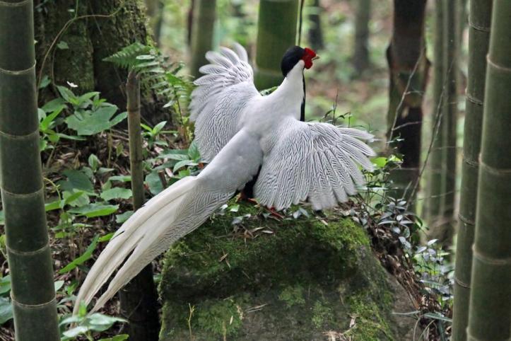 Ayam Hias Silver Pheasant