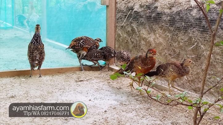 Jual Ayam Hias Reeves pheasant Berkualitas dan cantik 1
