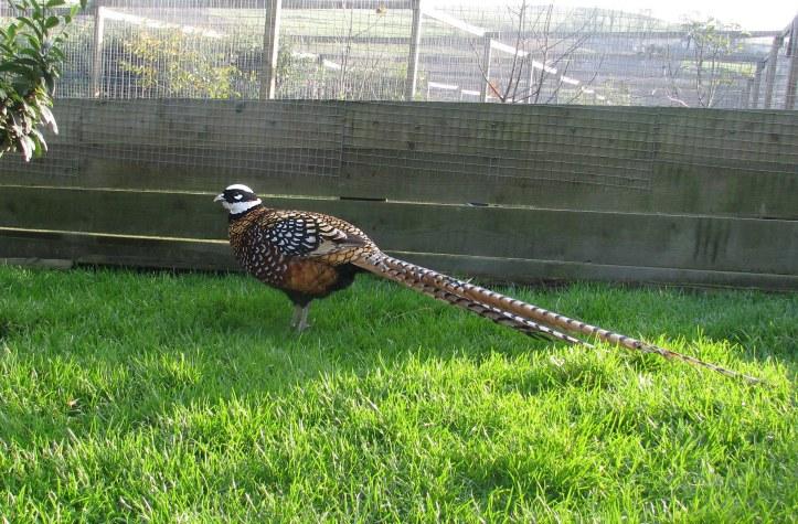 Jual Ayam Hias Reeves pheasant Berkualitas dan cantik 4