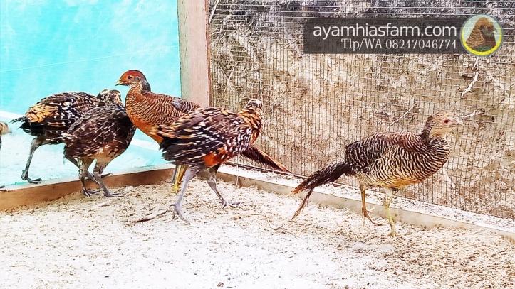 Jual Ayam Hias Reeves pheasant Berkualitas dan cantik 7