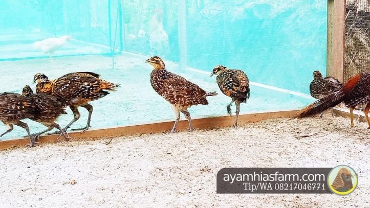 Jual Ayam Hias Reeves pheasant Berkualitas dan cantik 8
