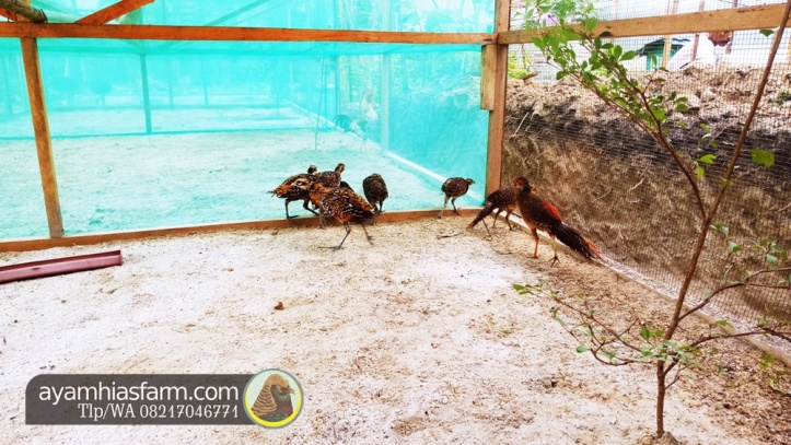 Jual Ayam Hias Reeves pheasant Berkualitas dan cantik 9