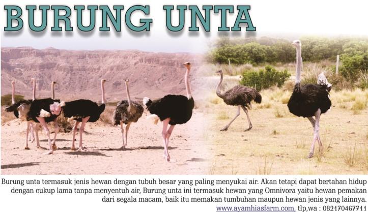 jual burung unta (2)