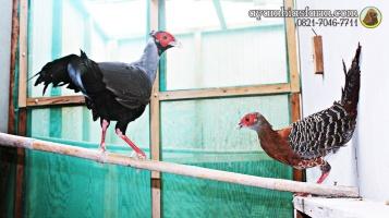 Ayam Simasen fireback (10)