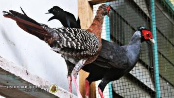 Ayam Simasen fireback (11)