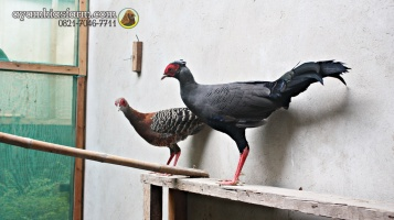 Ayam Simasen fireback (2)