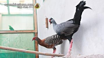 Ayam Simasen fireback (3)