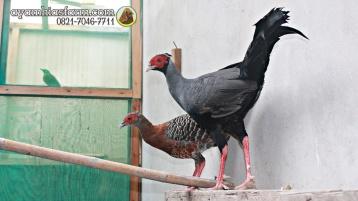 Ayam Simasen fireback (7)