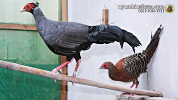 Ayam Simasen fireback (8)
