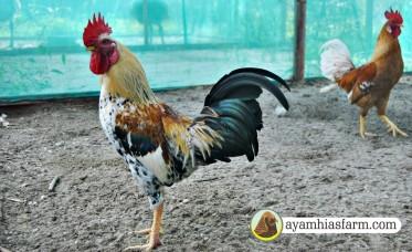 ayamhiasfarm.com 10