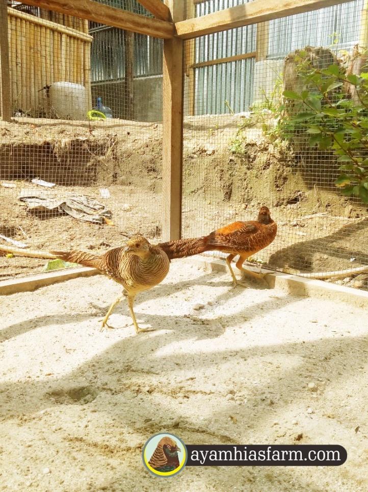 Jual Ayam Golden Pheasent (2)