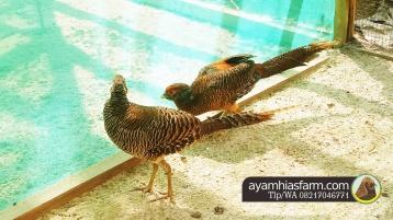 Ayam Hias Golden Pheasant