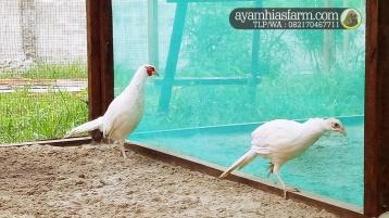 Jual Ayam Ringneck Putih pheasant
