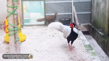 Jual Ayam Revees pheasant