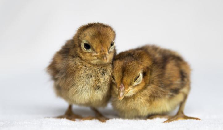 Ayam Hias Lady Amherst's Pheasant Anakan
