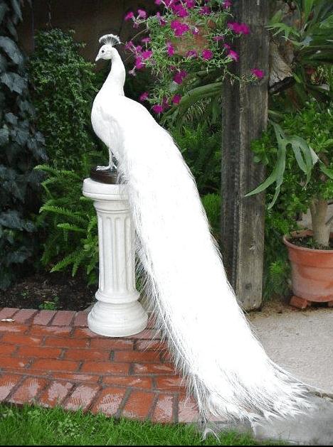 burung-merak-putih.png