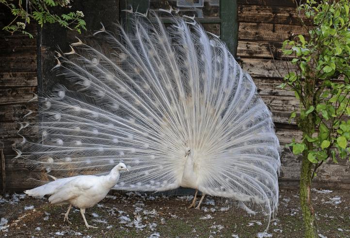 burung-merak-putih-jantan-dan-betina