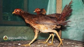 Golden Pheasent Anakan Umur 6 Bulan 12