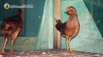 Golden Pheasent Anakan Umur 6 Bulan 2