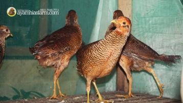 Golden Pheasent Anakan Umur 6 Bulan 3