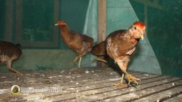 Golden Pheasent Anakan Umur 6 Bulan 6