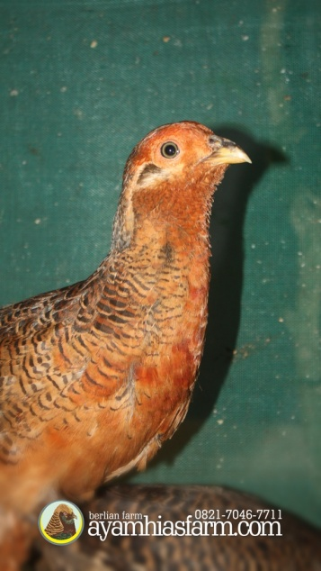 Jual Anakan Ayam Hias Golden Pheasant Usia 5 Bulan