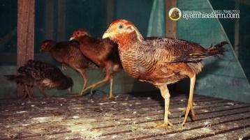 Golden Pheasent Anakan Umur 6 Bulan