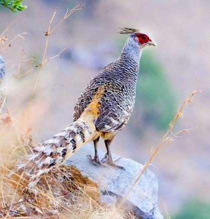 Jual Ayam Hias Cheer Pheasants Yang Cantik dan Berkualitas