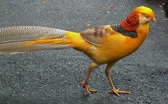 jual-ayam-hias-yellow-pheasant-yang-cantik-dan-berkualitas.jpg