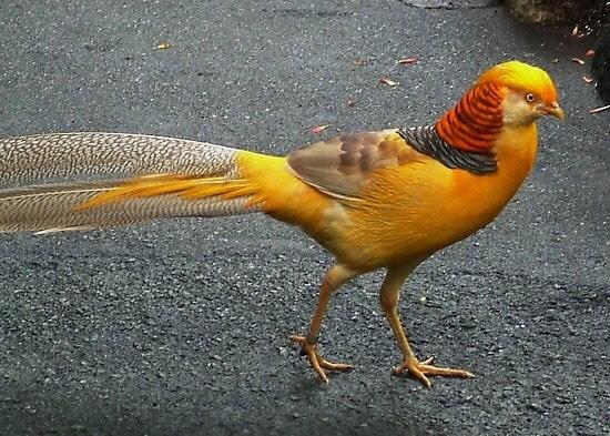 Jual Ayam Hias Yellow Pheasant Yang Cantik dan Berkualitas