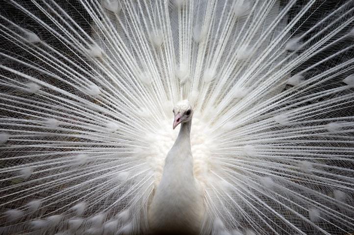 Jual Burung Merak Putih Berkualitas