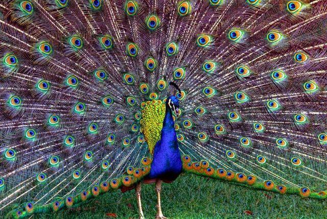 Ayam Hias Merak Biru Koleksi Istimewa