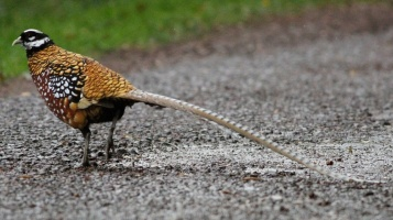 Reeves's Pheasant_004A - Rempstone Forest - 8_Nov_13